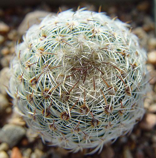 Mammillaria-huitzilopochtli