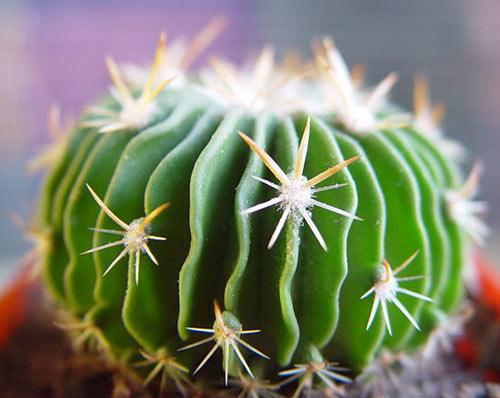 Echinofossulocactus-violaciflorus